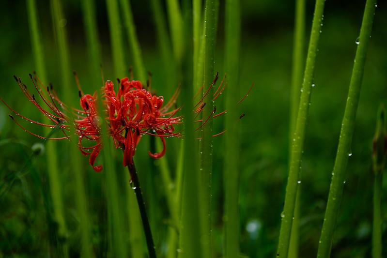 Rain falls amaryllis