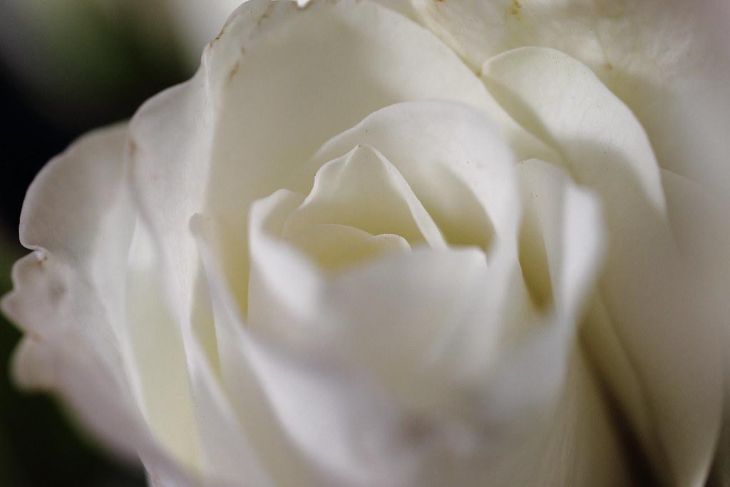 Rose Garden I Beg Your Pardon I Never Promised You A Rose Flickr