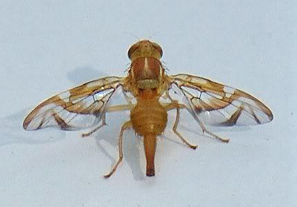 Dsc_8532 Mexican Fruit Fly