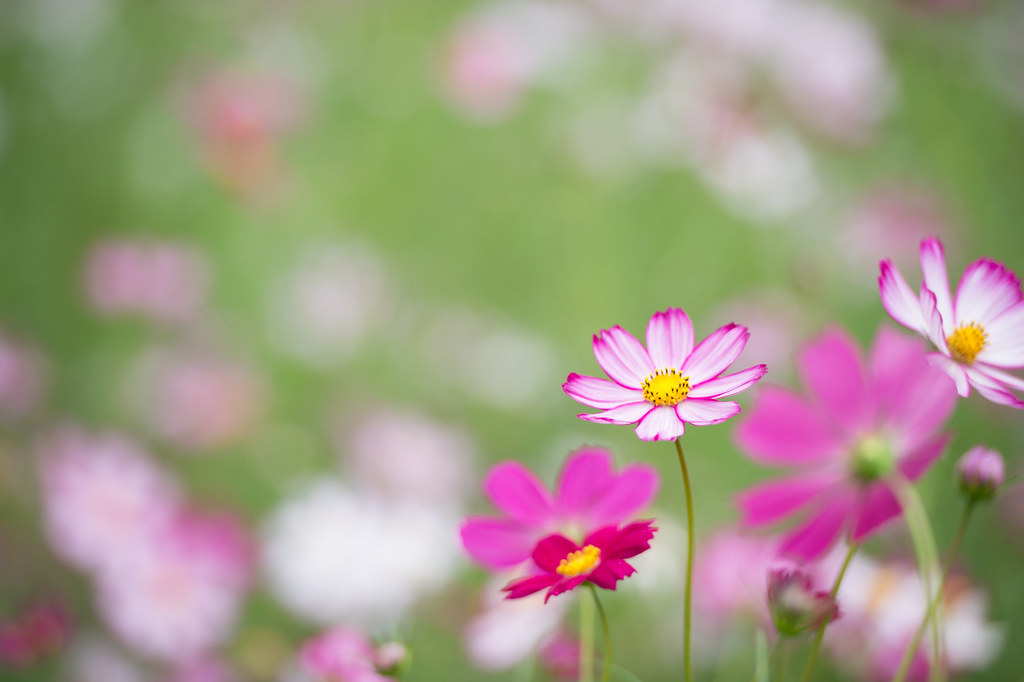 Cosmos flower field #3 | Photographed at Showa Kinen Park ...