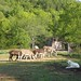 Daisy on donkey guard dog duty (6) - FarmgirlFare.com