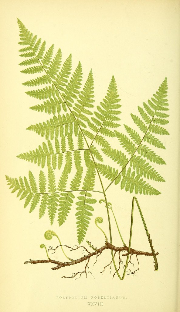 N161 w1150 ferns british and exotic london for Botanical tattoo london