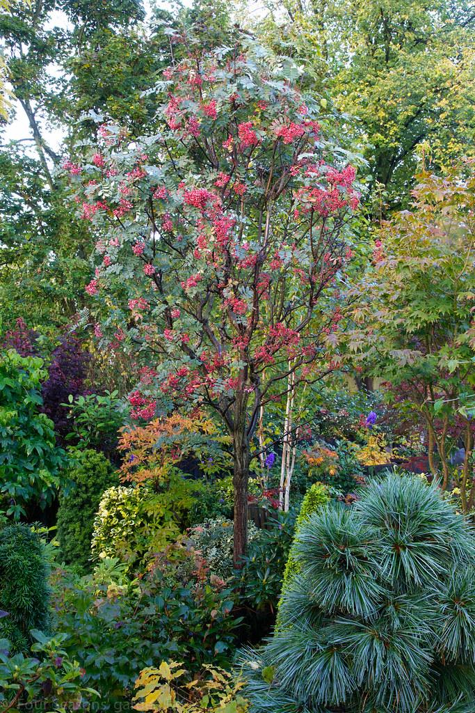 Sorbus Hupehensis Pink Pagoda Autumn Berries Food For