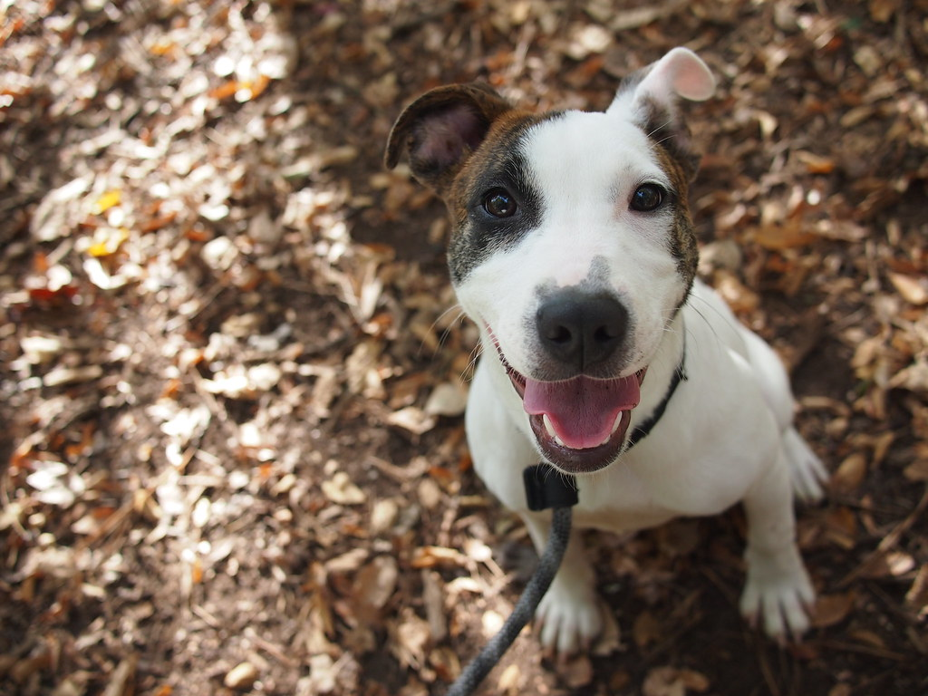 Giselle | This sweet puppy is GISELLE, a 6 month old Pit ...