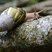 Gigantic snail