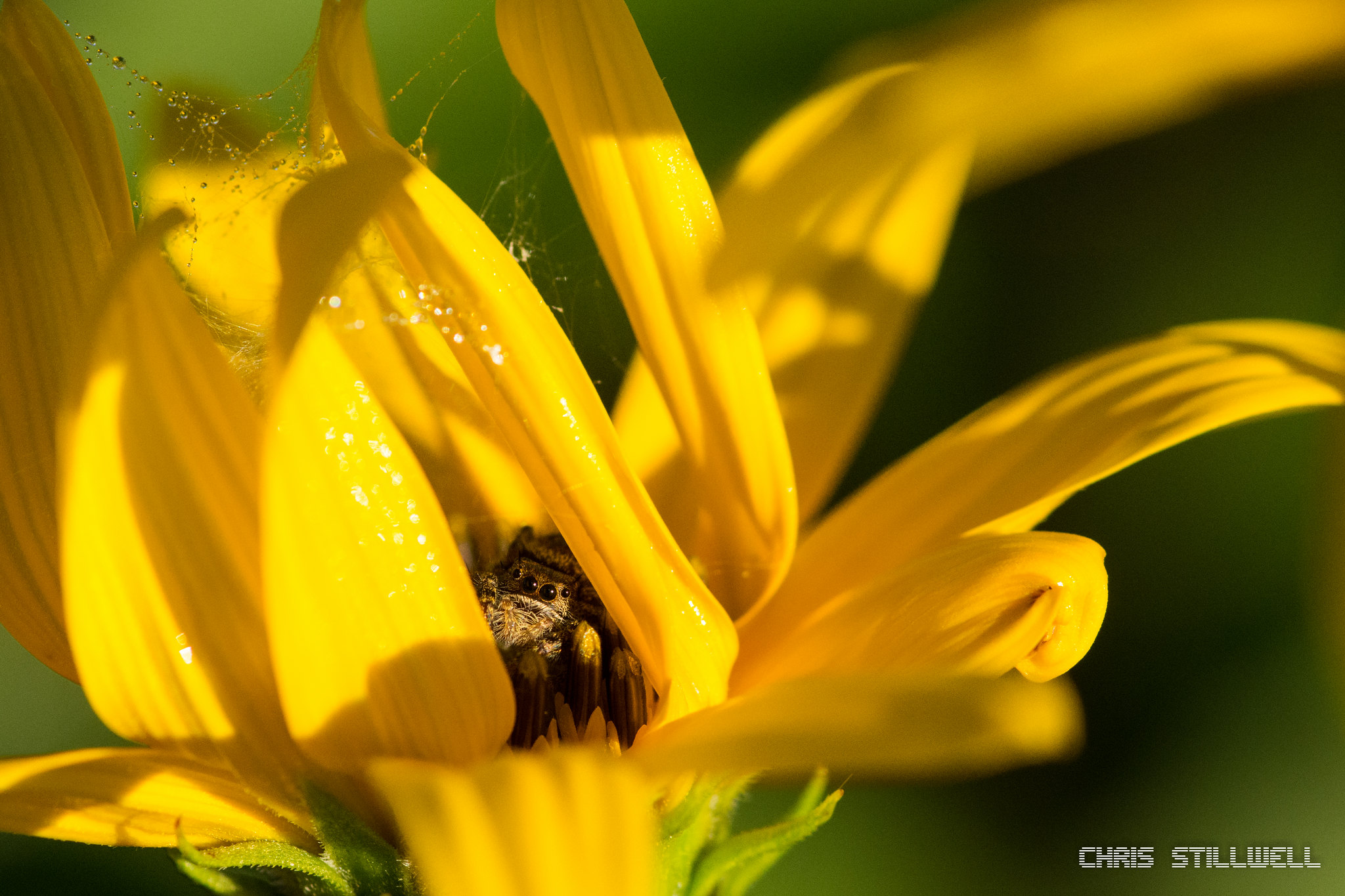 A shy jumping spider peeking between a sunflower's petals [OC][2048 x 1365]