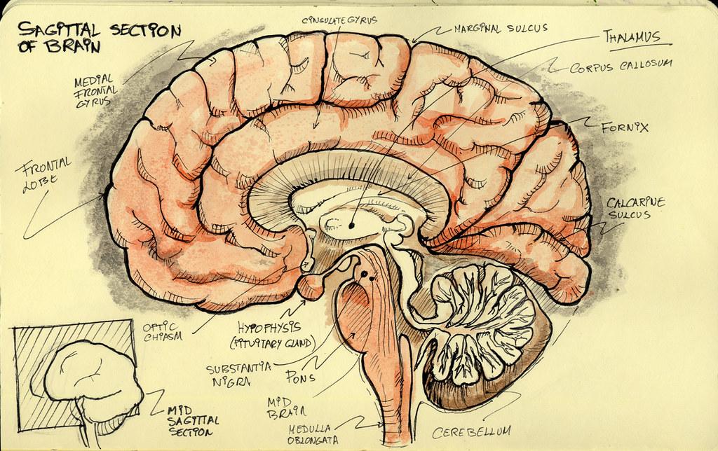 Sagittal section | Work research sketch. Brain mid sagittal ...