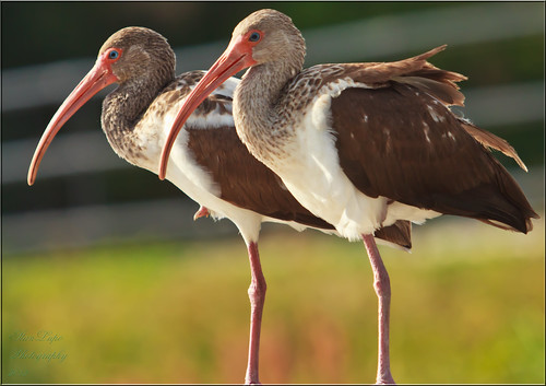 Young Ibises on a Rail | by stanlupo (Thanks for 2,000,000 Views!)
