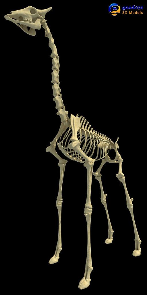 Halswirbel Giraffe