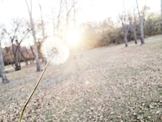 dandelion in the sun | by i believe in love