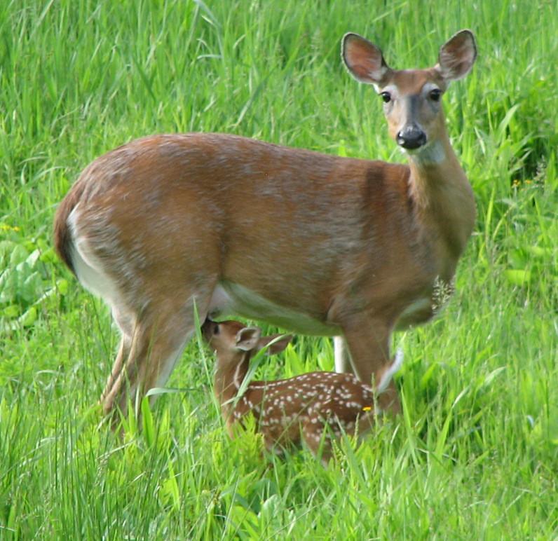 Odocoileus virginianus (white-tailed deer) (Newark, Ohio ...