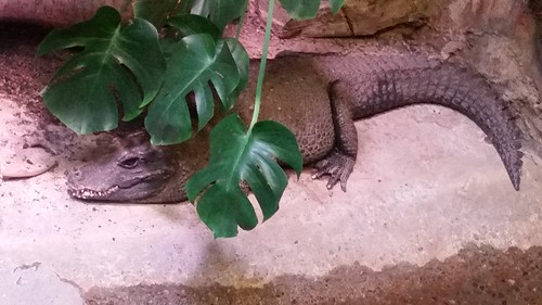 Woodland Park Zoo Crocodile