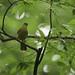Stripe-cheeked Greenbul - Thyolo forest - Malawi_S4E4764