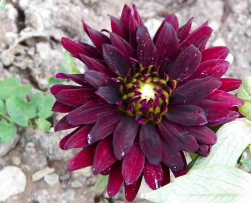 100 1620 le dahlia est une magnifique fleur bulbe d 39 t cassiop e2010 flickr. Black Bedroom Furniture Sets. Home Design Ideas