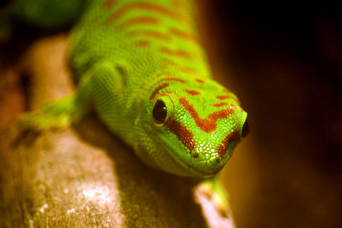 Greenday gecko | by Rene Mensen
