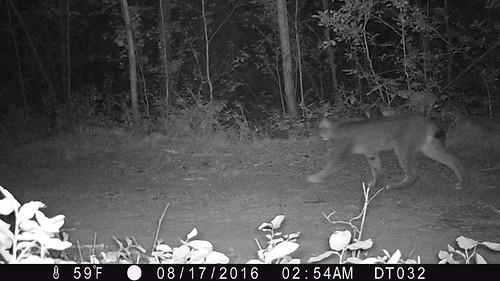 Kettle Lynx 2016 Photo WSU and Working for Wildlife Initiative 2