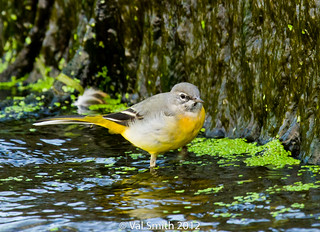 Grey Wagtail (Explored) | by smithval46