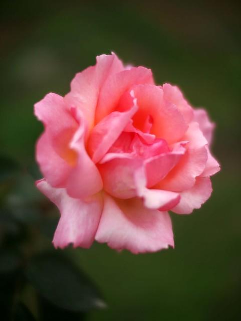 rose compassion flickr photo sharing. Black Bedroom Furniture Sets. Home Design Ideas