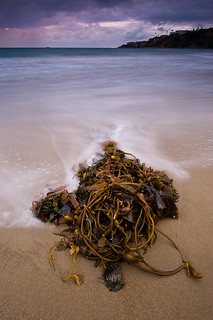 portrait of kelp | by Eric C Bryan