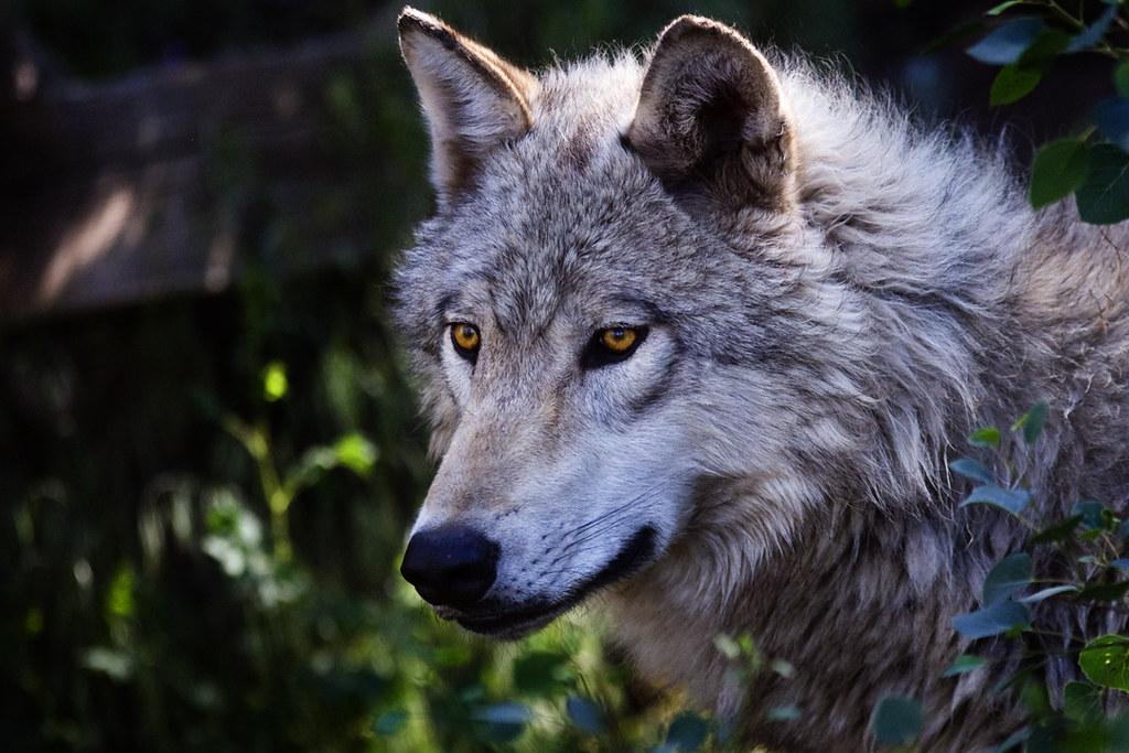 Grey Wolf   Jeremy Weber   Flickr