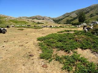 Le pianu avec les moutons sur la rive droite du Cuscionu