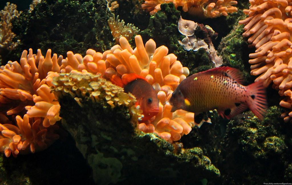 Lippfische  Meerwasserfische für die Aquaristik