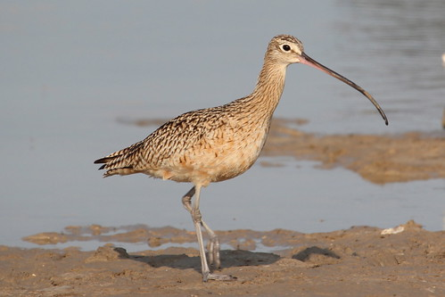 Long-billed Curlew | by ricmcarthur