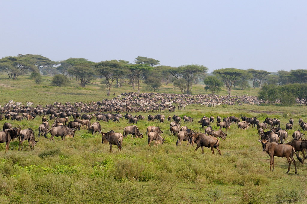 Wildebeest Amp Zebra In Migration At Serengeti Np In Tanzani