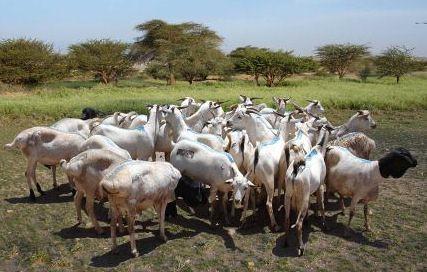 """Experimental """"Somali"""" goat — Nomads in Oman"""