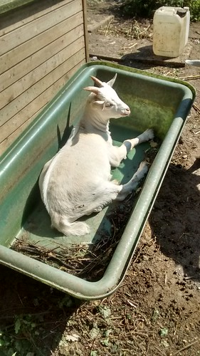 goat kid in bath tub Aug 16 2