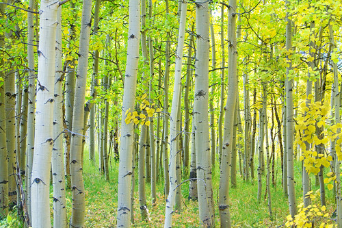 Aspen Tree Forest Autumn Time | by Striking Photography by Bo Insogna