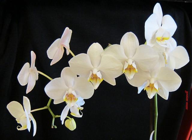 Valkoinen orkideani