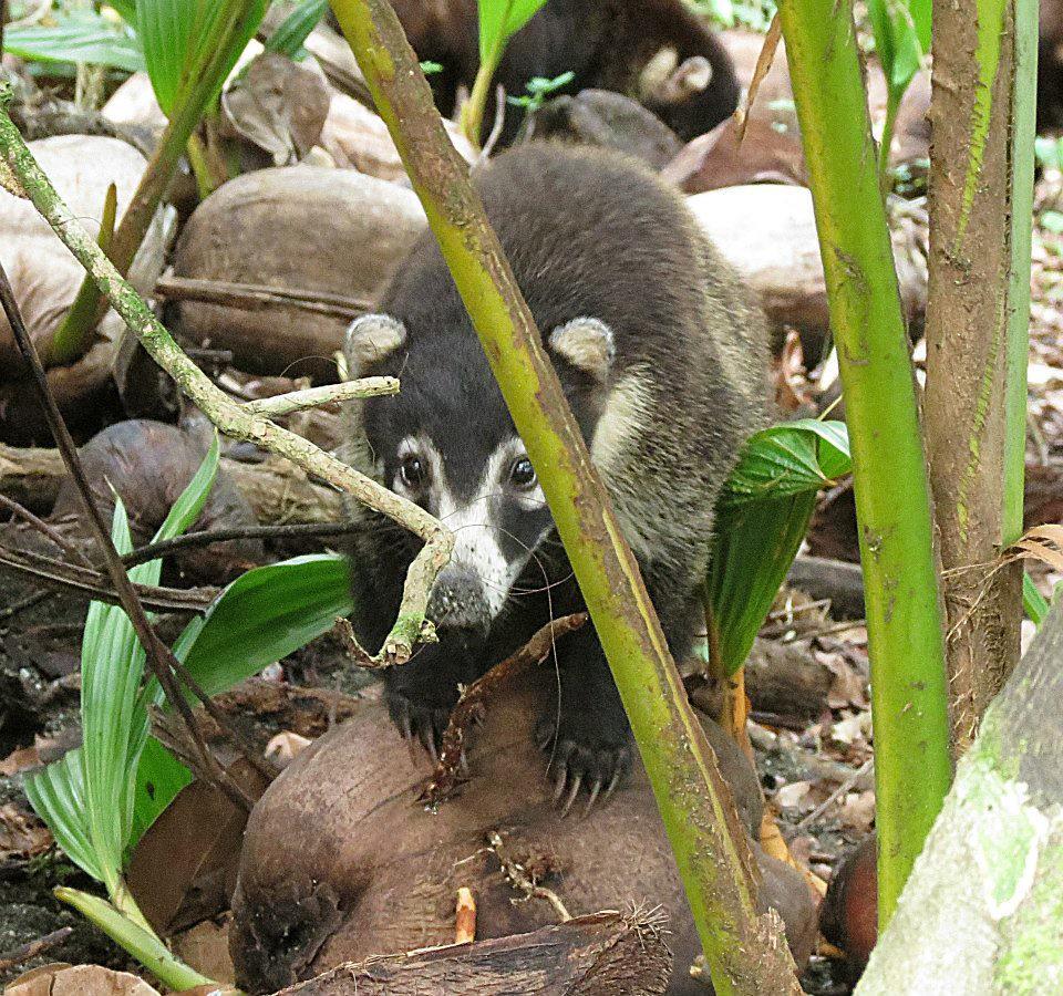 Costa Rica Big Cats, Primates & Turtle Conservation | Flickr