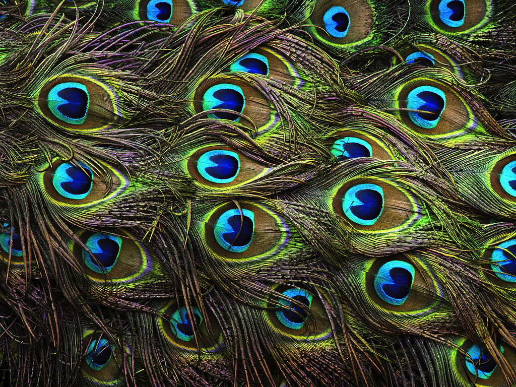 Face Eyes Photography Nature Peacocks Birds Colorful: The Spreading Of The Peacock