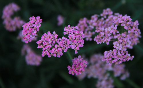 Tiny Pink Blossoms | by LostMyHeadache: Absolutely Free *