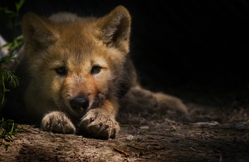 Wolf Pup | British Columbia, Canada | Jeremy Weber | Flickr