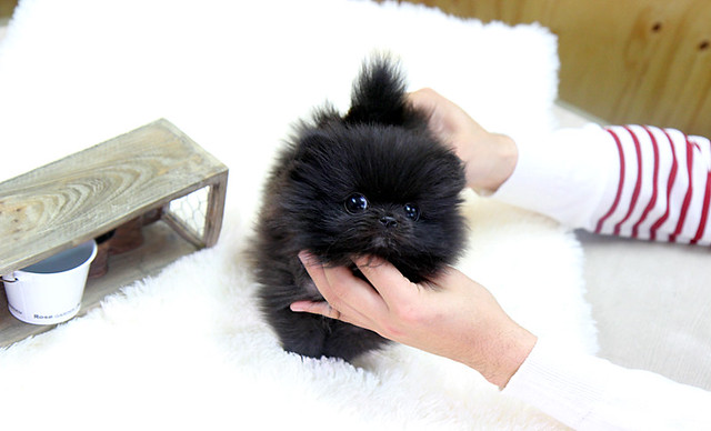 Cute Black Pomeranian Puppy Pictures So cute teacup blackCute Black Pomeranian Puppy Pictures