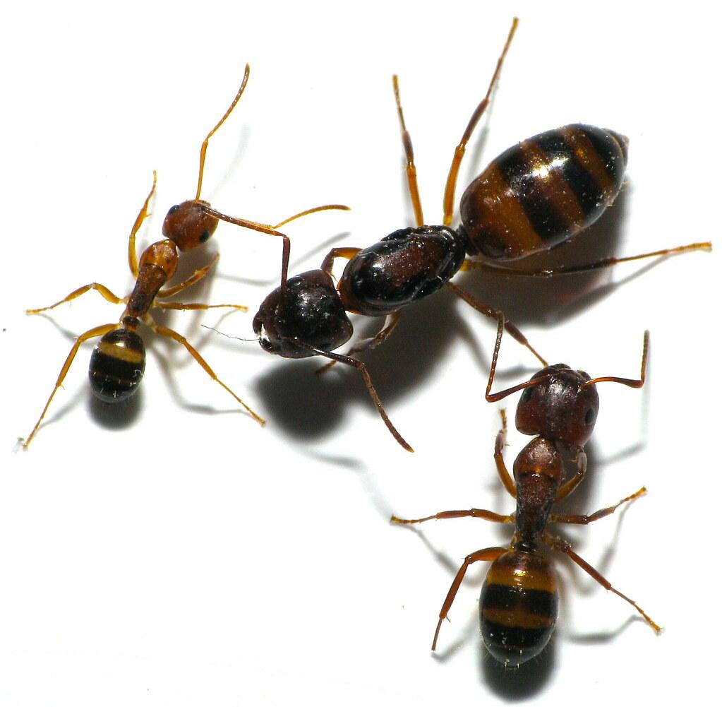 Carpenter Ants Size Comparison