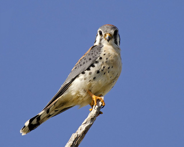 Male American Kestrel (Falco sparverius)   Flickr - Photo ...