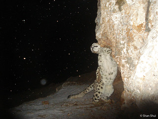 A snow leopard scent-marking in the snow, China's Qinghai province | by Panthera Cats