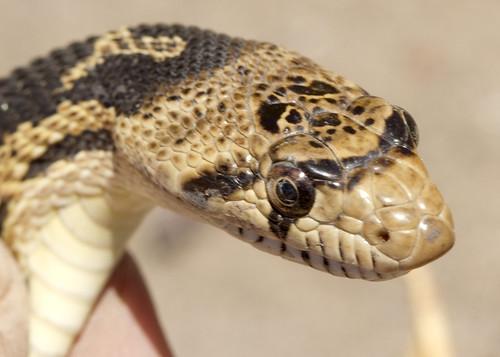 Gopher snake head threequarter wray oregon department of for Oregon department of fish and wildlife jobs