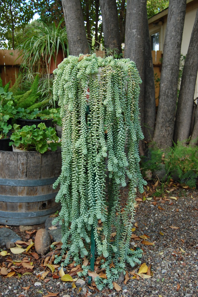 Donkey Tail Plant This House Plant Spent The Summer In