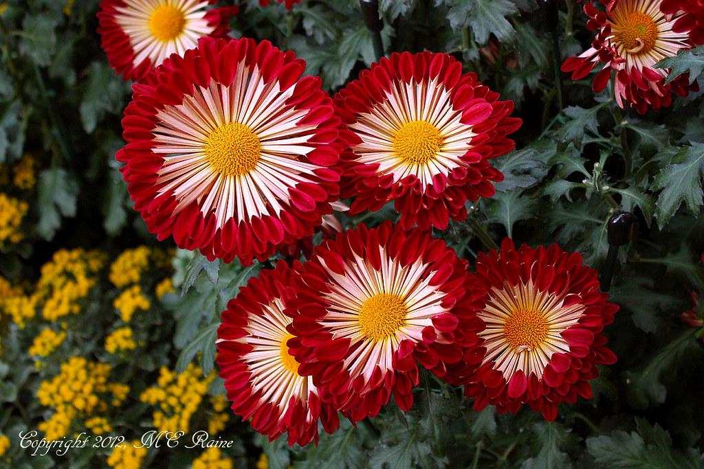 chrysanthemum spoon mums at longwood gardens pa the
