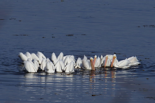 S1D_1791 Day1-1200 American Great White Pelican | by scorellis