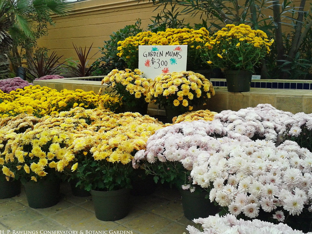 the dragon 39 s garden items for sale garden mums for sale flickr