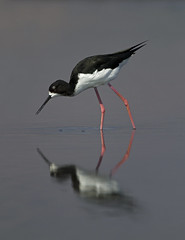 Endangered Hawaiian stilt at Kealia Ponds National Wildlife Refuge on Maui.