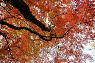 a big maple tree. | by cate♪