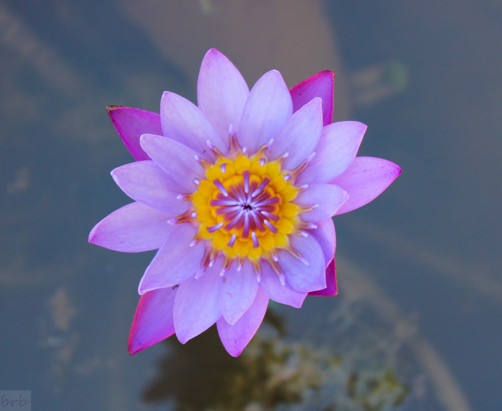 The Most Beautiful Of The Lotus Flowers Are The Ones That Flickr