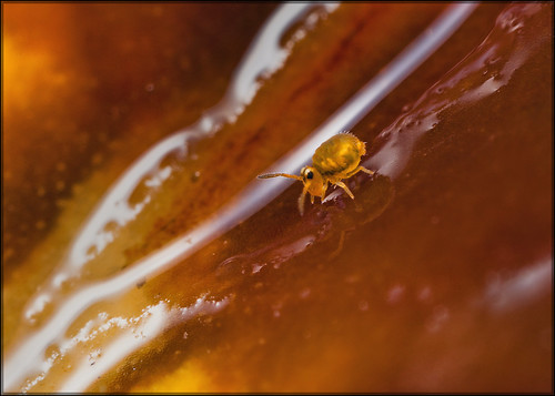 Globular Springtail on a Wet Leaf | by Ed Phillips 01