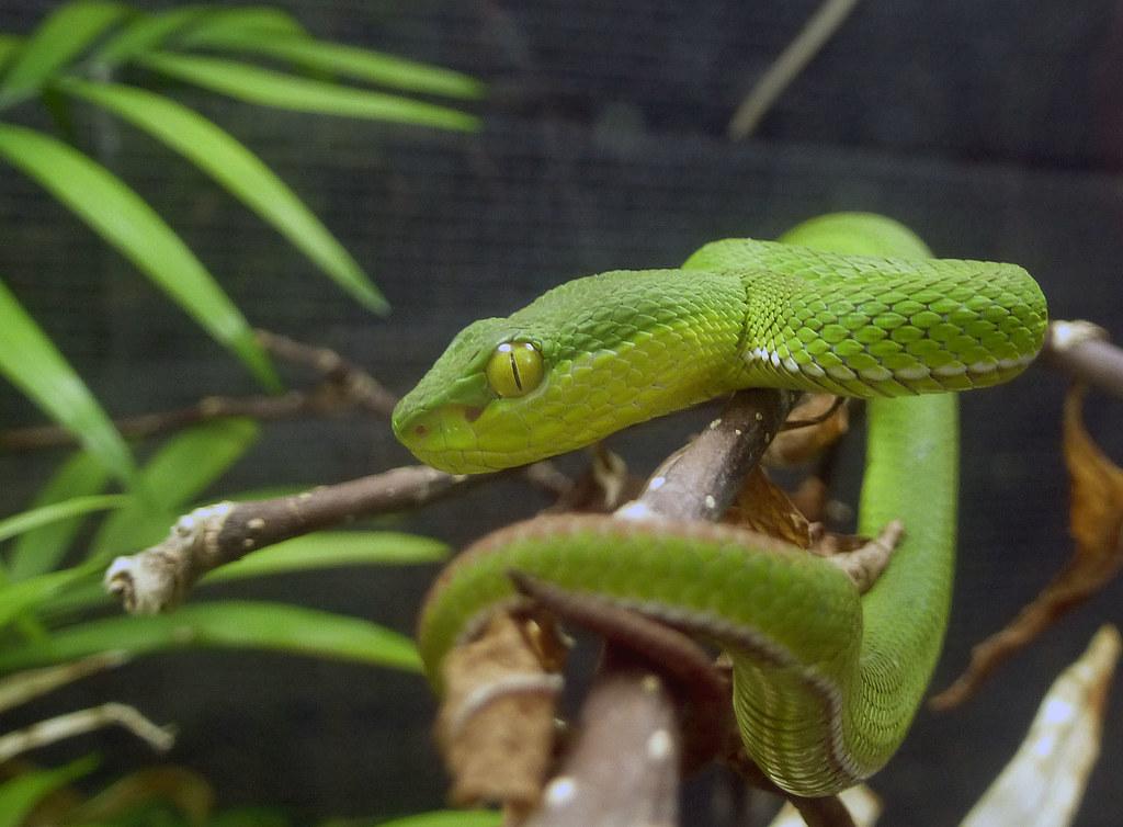 Weisslippen Bambusotter Giftschlange Die Sudostasiatische W Flickr